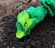 Plantando o jardim vegetal Imagem de Stock