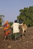 Plantando o milho usando bois em Mandu, Índia Fotografia de Stock