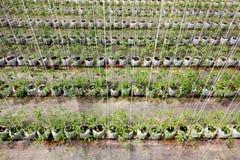 Plantando o tomate Fotos de Stock Royalty Free