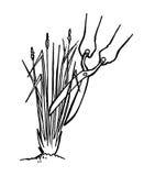 Plantando o Vetiver Fotografia de Stock
