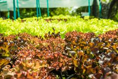 Plantando os molhos de salada orgânicos não-tóxicos dos vegetais bonitos imagens de stock