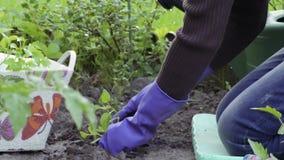 Plantando pimentas no jardim video estoque