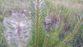 Plantando pinhos novos na floresta, abeto vermelho, vidoeiro, fluff das árvores filme