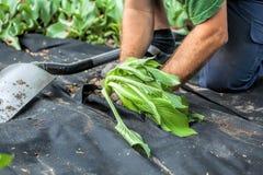 Plantando a plântula na barreira remova ervas daninhas da folha Fotografia de Stock