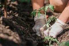 Plantando plântulas do tomate com as mãos de um fazendeiro cuidadoso em seu jardim fotos de stock