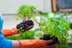 Plantando plântulas na terra aberta na mola adiantada Um fazendeiro da mulher está guardando plântulas em suas mãos, incomodando  fotografia de stock royalty free