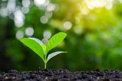 Plantando a planta nova das plântulas na manhã ilumine no fundo da natureza imagens de stock
