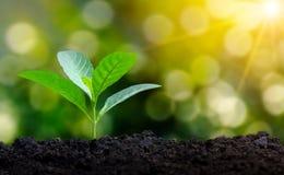 Plantando a planta nova das plântulas na manhã ilumine no fundo da natureza foto de stock