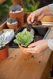 Plantando plantas suculentos Imagens de Stock