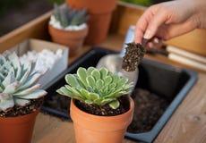 Plantando plantas suculentos Foto de Stock Royalty Free