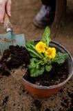 Plantando a prímula Fotos de Stock Royalty Free