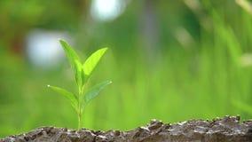 Plantando ?rvores, amando o ambiente e protegendo a natureza que nutre o dia de ambiente de mundo das plantas para ajudar o olhar video estoque