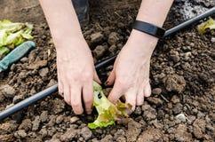 Plantando a salada Foto de Stock Royalty Free