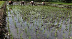 Plantando seedlings do arroz Imagens de Stock