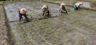 Plantando seedlings do arroz Foto de Stock