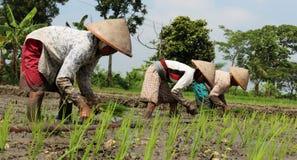 Plantando seedlings do arroz Imagem de Stock
