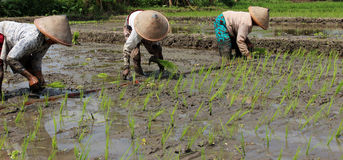 Plantando seedlings do arroz Imagens de Stock Royalty Free