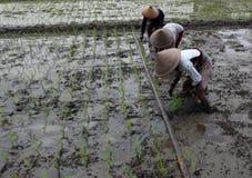 Plantando seedlings do arroz Fotos de Stock Royalty Free