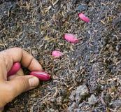 Plantando sementes do feijão no solo Foto de Stock