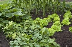 Plantando tomates Imagem de Stock Royalty Free