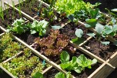 Plantando tomates Foto de Stock