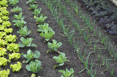 Plantando tomates Imagens de Stock Royalty Free