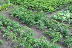 Plantando tomates Imagens de Stock
