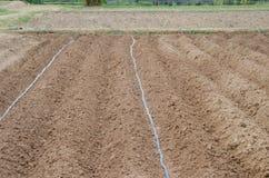 Plantando tomates Imagem de Stock
