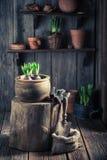 Plantando um açafrão verde e um solo escuro fértil Fotografia de Stock Royalty Free