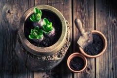Plantando um açafrão verde e umas ferramentas de jardinagem velhas Foto de Stock Royalty Free