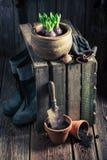 Plantando um açafrão verde e uns potenciômetros de argila velhos Foto de Stock