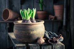 Plantando um açafrão verde em uma oficina de madeira velha Imagem de Stock