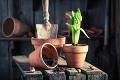 Plantando um açafrão verde em uma vertente de madeira velha Fotos de Stock Royalty Free