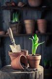 Plantando um açafrão verde na casa de campo rústica Foto de Stock Royalty Free