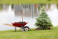 Plantando um cipreste sempre-verde decorativo Fotografia de Stock