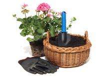 Plantando um gerânio, isolado Foto de Stock Royalty Free