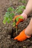 Plantando uma plântula dos tomates Imagens de Stock Royalty Free