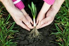 Plantando uma planta pequena Fotografia de Stock Royalty Free