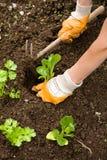 Plantando vegetais Foto de Stock