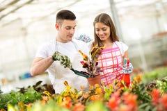 Plantando y tomando el cuidado de la planta del Croton en invernadero imagenes de archivo