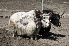 Plantando yaks Foto de Stock