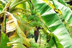 Plantano con il fiore paradisiaco Immagini Stock Libere da Diritti