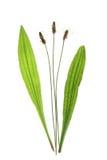 Plantano di Ribwort (lanceolata del Plantago) Fotografie Stock