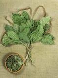 plantano Erbe secche Medicina di erbe, fitoterapia h medicinale Fotografie Stock Libere da Diritti