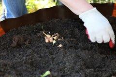 Plantant des ampoules de fleur au printemps photo libre de droits