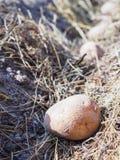 Plantant des pommes de terre au printemps dans le jardin photographie stock libre de droits