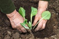 Plantant la jeune plante de chou au printemps Photographie stock