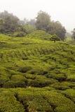 Plantantion чая в гористой местности Камерона Стоковые Фото