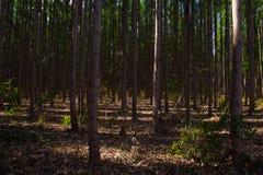 Plantantion dell'eucalyptus in Três Marias, Minas Gerais fotografia stock