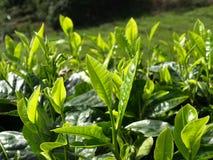 Plantantions Cameron Highlands do chá fotografia de stock royalty free